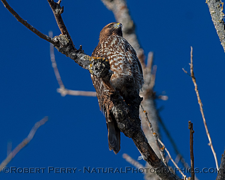 Buteo lineatus JUV in tree 2018 10-31 Merced NWR-b-016