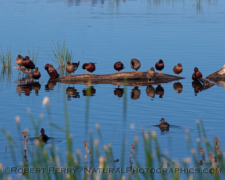 Cinnamon teal ducks on a log.