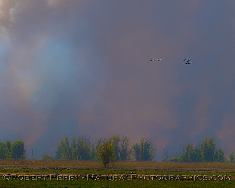 Grus canadensis in smoke controlled burn 2018 10-31 Merced NWR-b-019
