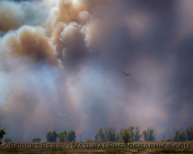 Grus canadensis Sandhill cranes in smoke controlled burn 2018 10-31 Merced NWR-b-017