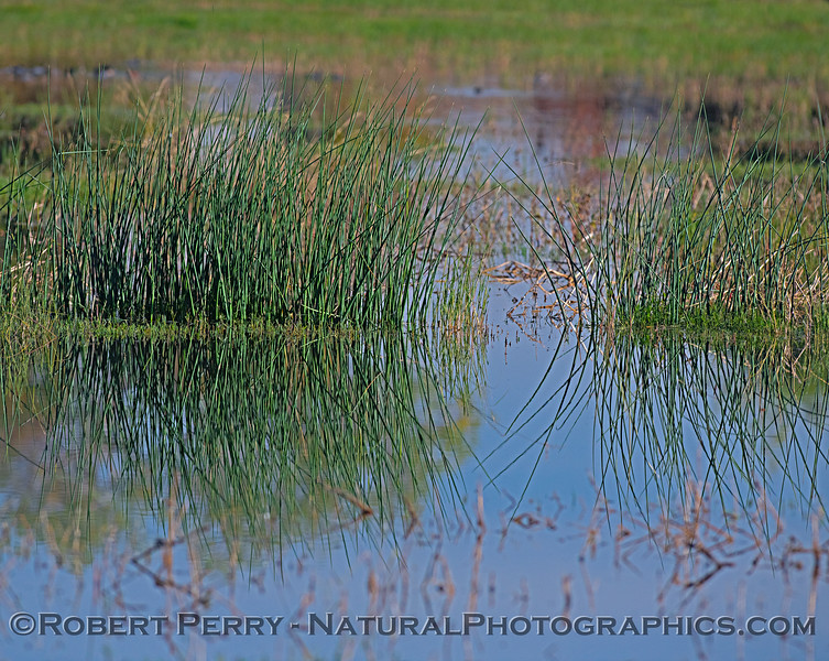 estuary reeds bulrushes 2018 10-31 Merced NWR-b-006