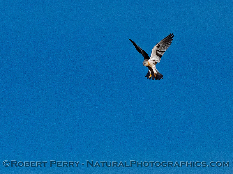 Elanus leucurus White-tailed kite in flight 2018 11-03 EDH-215