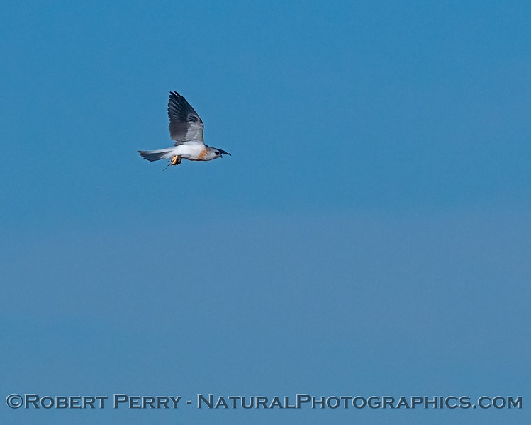 Elanus leucurus White-tailed kite in flight with rodent 2018 11-03 EDH-008