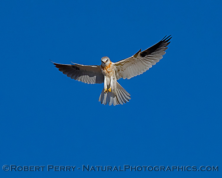 Elanus leucurus White-tailed kite in flight 2018 11-03 EDH-249