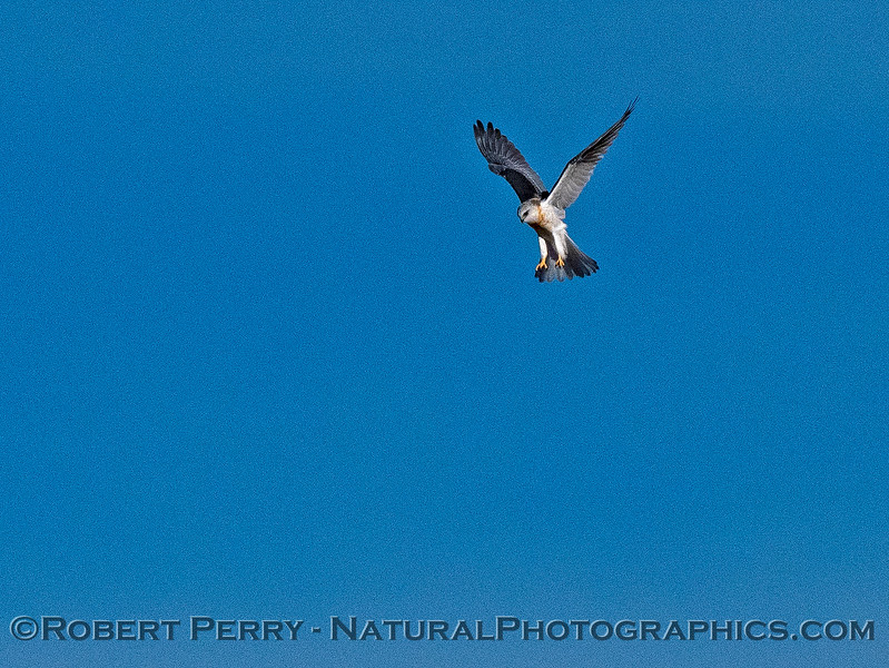 Elanus leucurus White-tailed kite in flight 2018 11-03 EDH-213