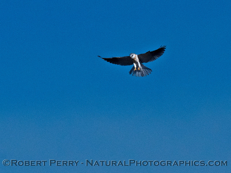 Elanus leucurus White-tailed kite in flight 2018 11-03 EDH-207