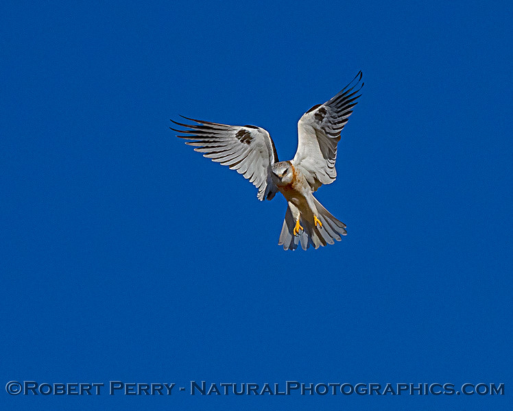 Elanus leucurus White-tailed kite in flight 2018 11-03 EDH-253