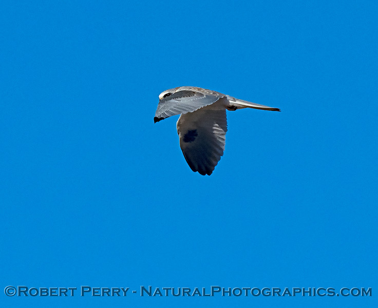 Elanus leucurus White-tailed kite in flight 2018 11-03 EDH-034