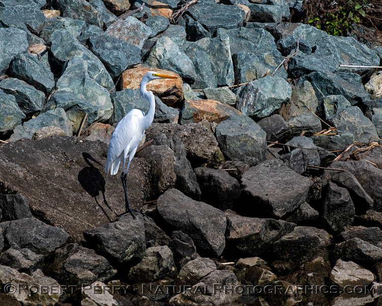 Great white egret on levee rocks