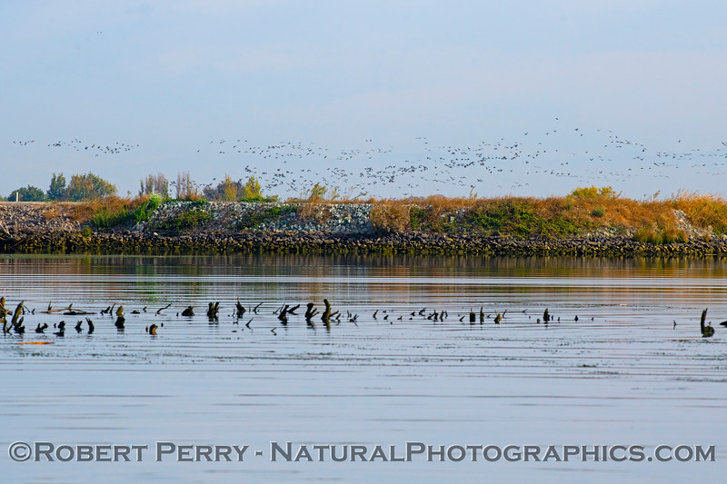 Flocks of Canada geese seen over the top of the levee
