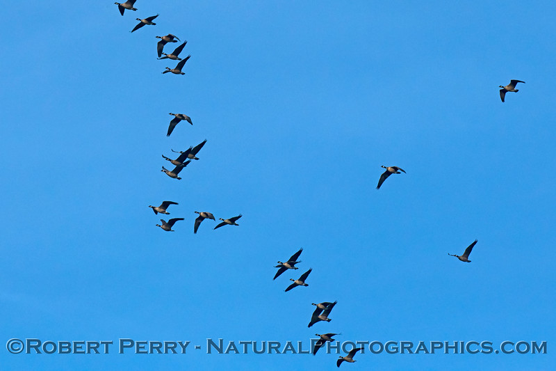 """Canada geese, part of a very long """"V"""" in the sky"""