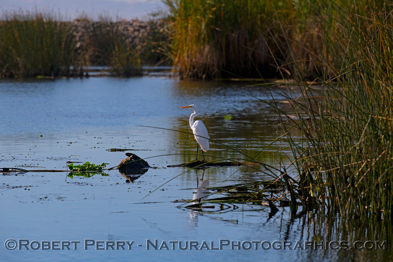 Wetlands scene with great white egret