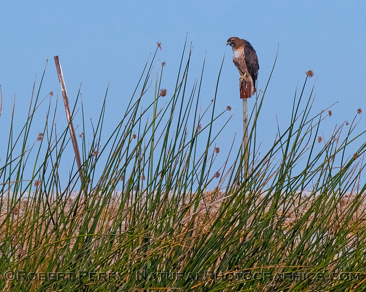 RTH - Red-tailed hawk