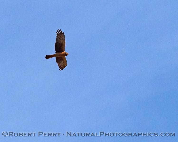 Northern harrier in flight (female)