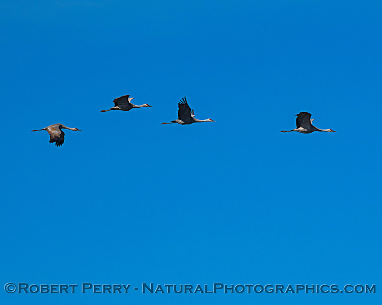 Sandhill cranes fly-by