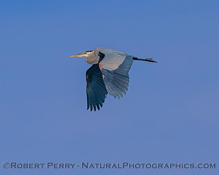 GBH - Great blue heron
