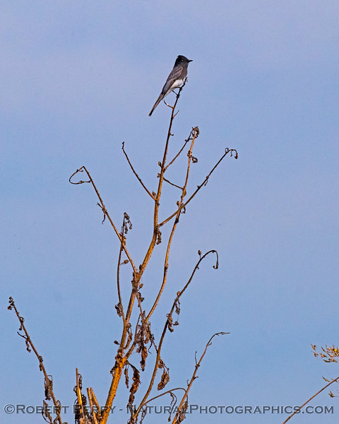 Black phoebe perched, ready for its next flying bug-meal