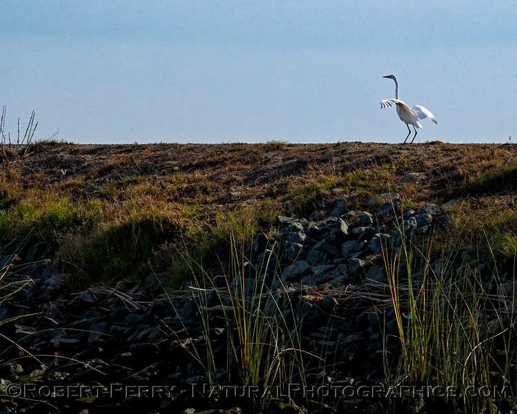 Great white egret atop levee
