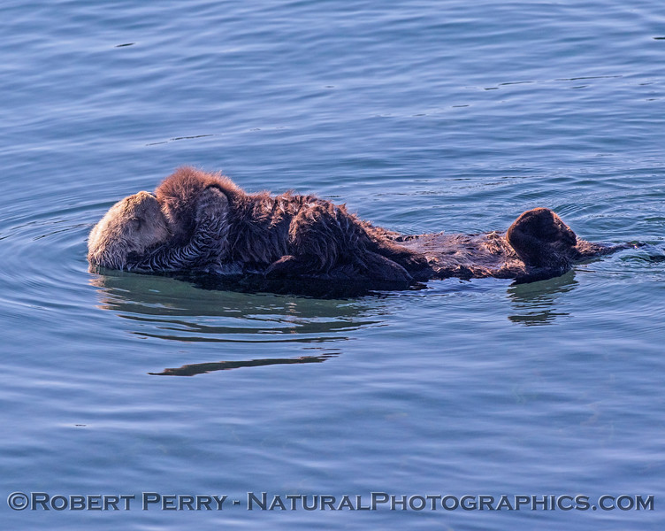 Enhydra lutris with pup 2018 11-09 Morro Bay-354
