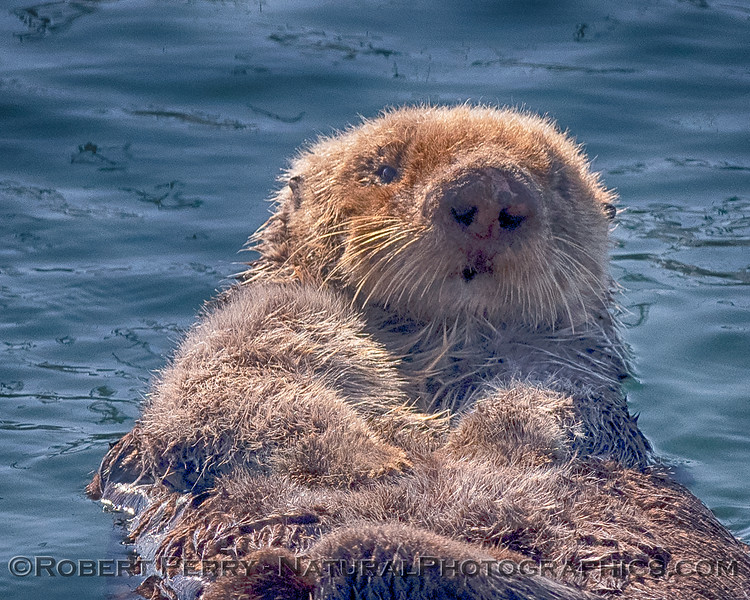 An adult sea otter soaks up some of the bright, warm sunshine which has apparently dried out its dense fur.