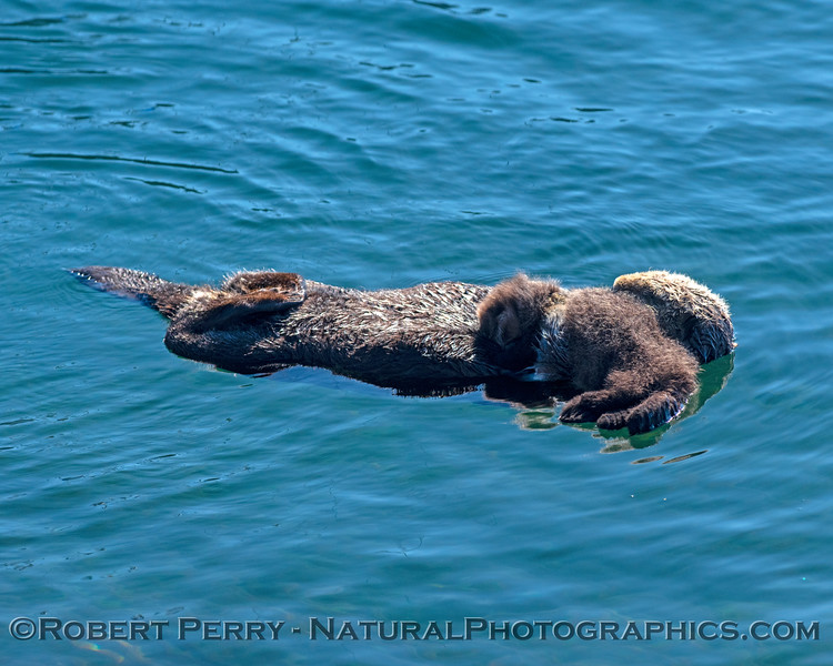 Enhydra lutris with pup 2018 11-09 Morro Bay-392