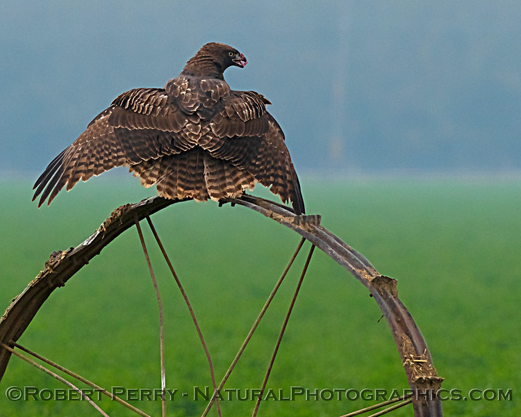 """Red-tailed hawk """"mantling"""" (covering its prey so it doesn't attract unwanted attention)"""