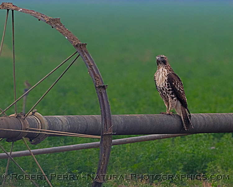 Red-tailed hawk on irrigation pipe.