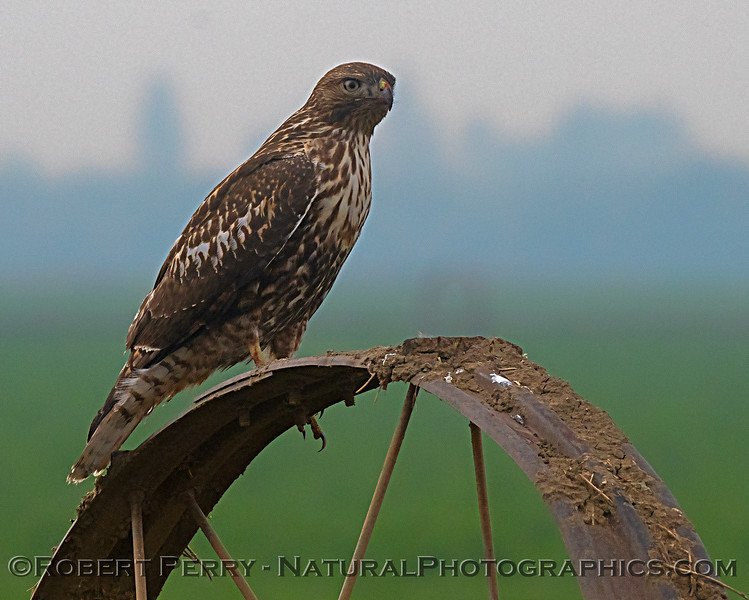Red-tailed hawk on irrigation system roller.