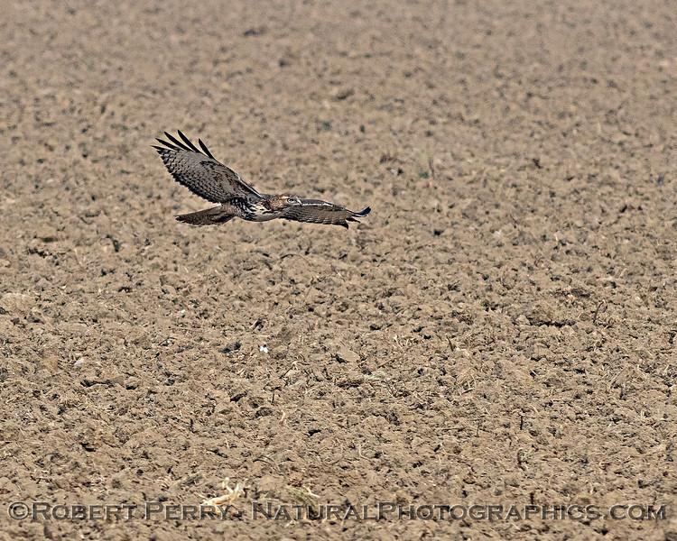 Red-tailed hawk hones in on prey