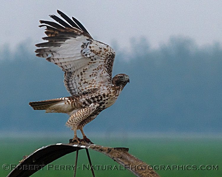 Red-tailed hawk taking flight.