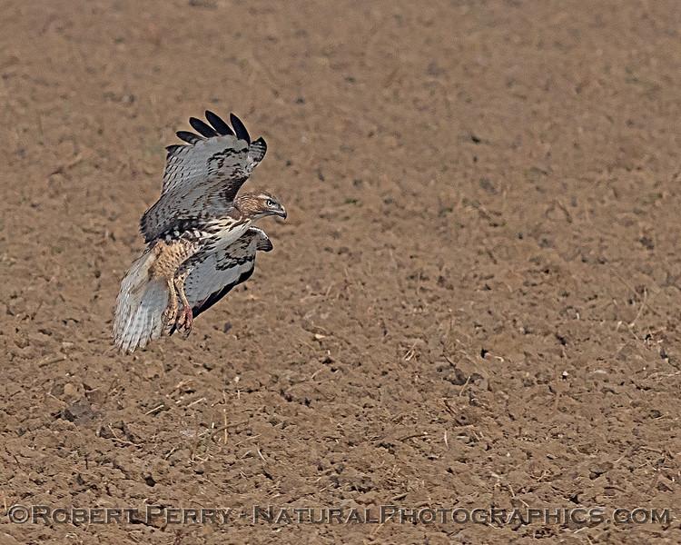 Red-tailed hawk prepares to grab prey