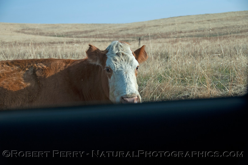 Bos taurus adult cow on road 2018 11-14 Payen Rd-c-024