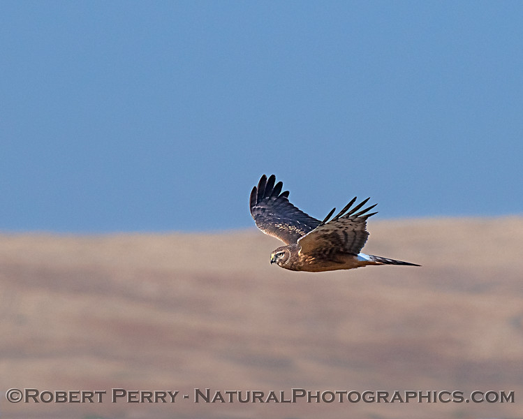 Harrier searching for prey.
