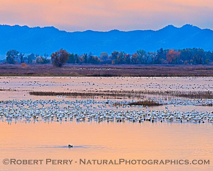Snow geese at Sac NWR.