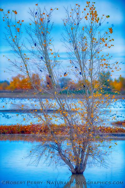 Blackbirds in a pond tree.