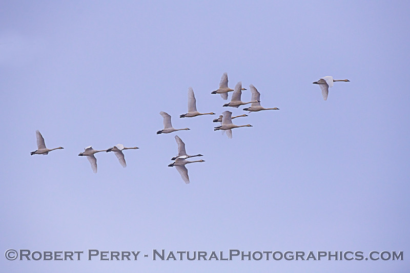 Snow geese in flight - small flock.