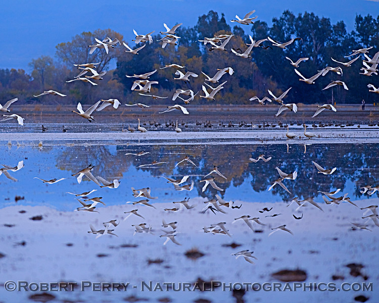 Snow geese - reflections
