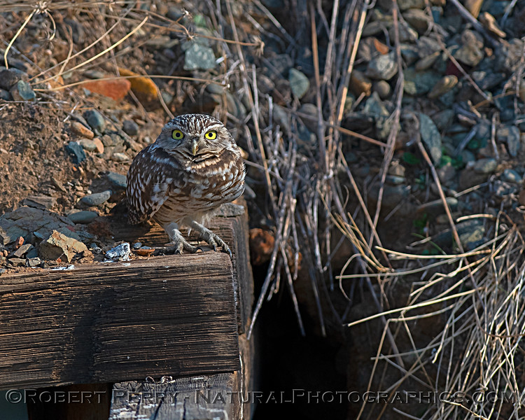 Burrowing owl near our home.