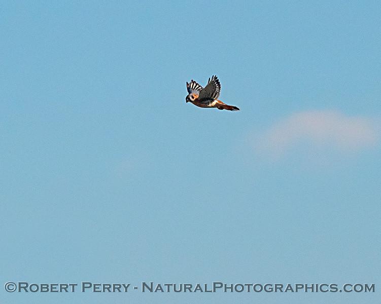A hovering American kestrel.