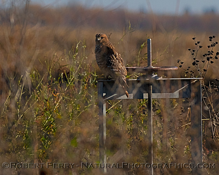 A juvenile red-shouldered hawk rests on an irrigation valve.