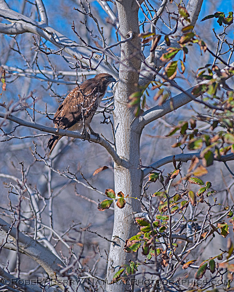 Red-tailed hawk among the bare branches of a winter orchard scene.