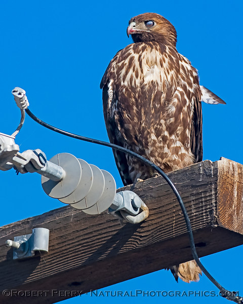 Red-tailed hawk with its nictitating membrane down.