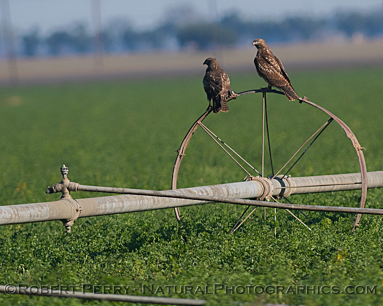 Two red-tailed hawks on an irrigation mechanism
