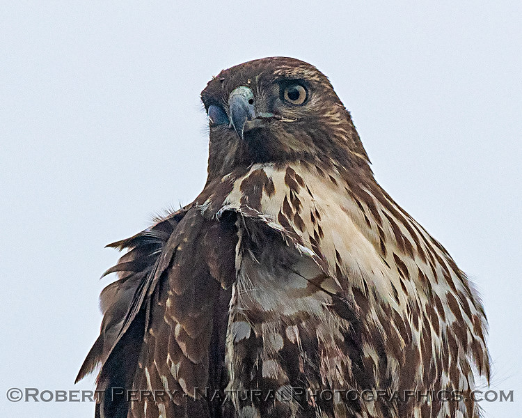 One eye is covered by a nictitating membrane:  red-tailed hawk