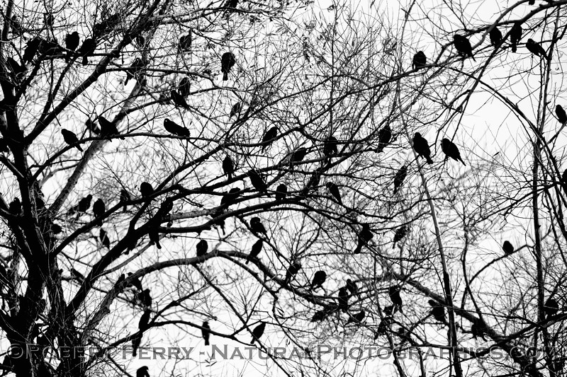 Agelaius phoeniceus Red-winged blackbirds in tree b&w SILHOUETTE 2019 01-03 Sac NWR--015