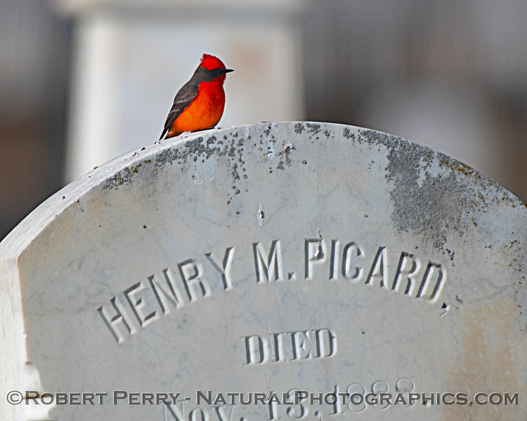 Pyrocephalus rubinus Vermillion flycatcher 2019 01-03 Maxwell Cem--032
