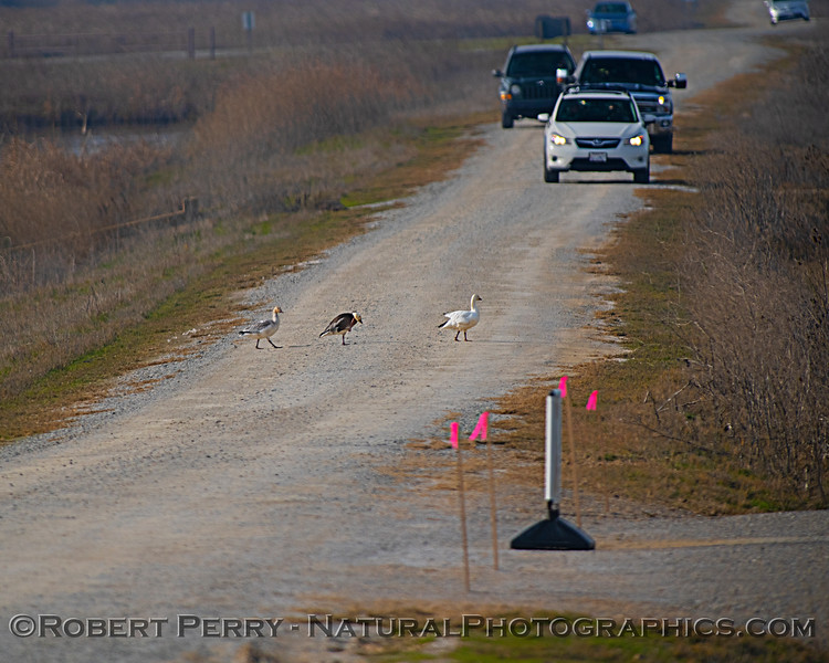 cars on road with Chen caerulescens Snow geese 2019 01-03 Sac NWR--004