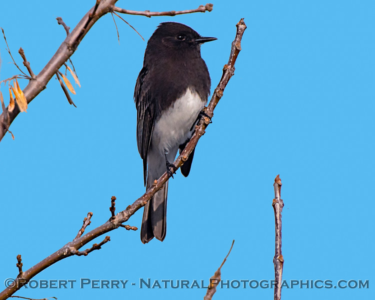 Sayornis nigricans Black phoebe 2019 01-03 Sac NWR--004