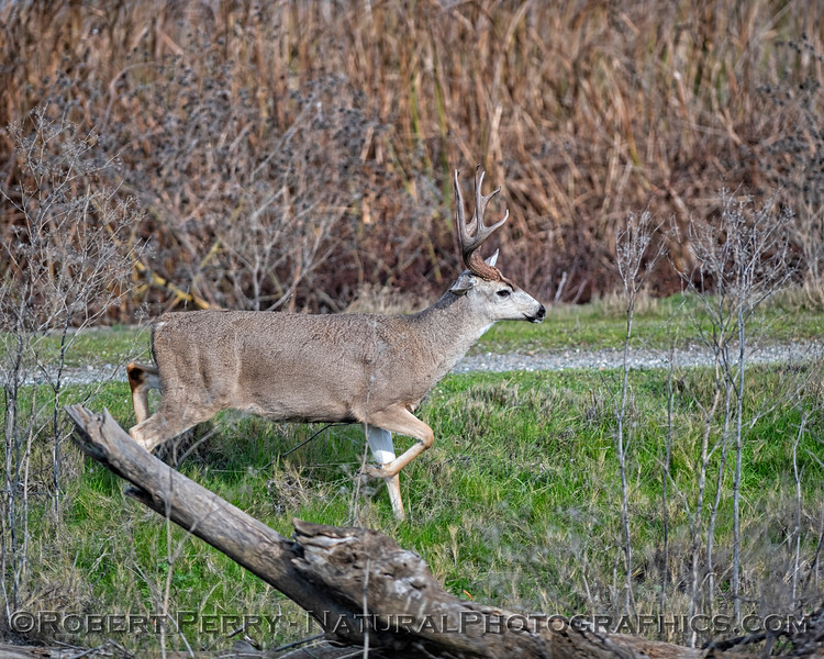 Odocoileus hemionus californicus Stag Mule deer STAG 2019 01-03 Sac NWR--005