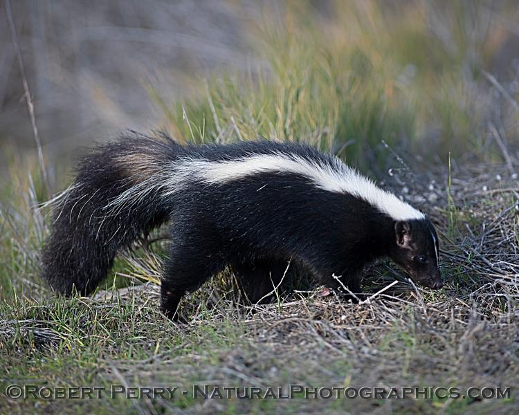 Mephitis mephitis Striped skunk 2019 01-03 Sac NWR--028
